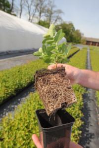 Sadząc rośliny z doniczek należy pamiętać o rozluźnieniu systemu korzeniowego